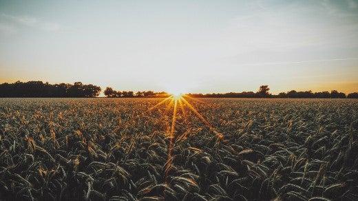 Wheat field on farm at sunset