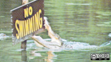 No swimming sign with alligator biting it