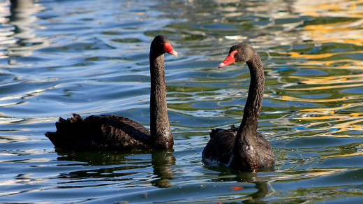 pair of black swans on water