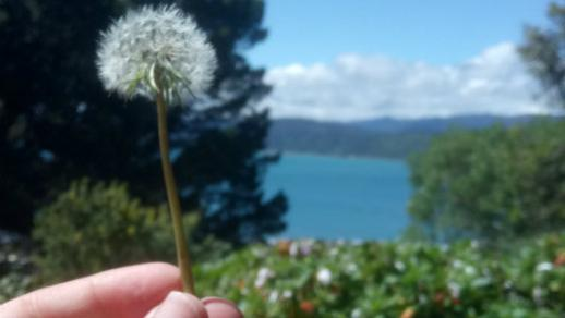 Dandelion held out over water