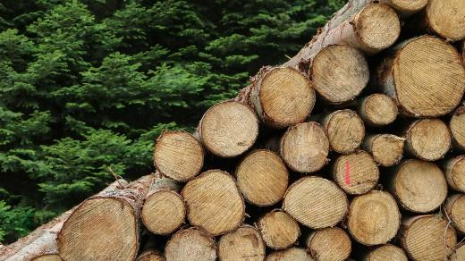 Logs stacked up and to the right in front of a green tree forest