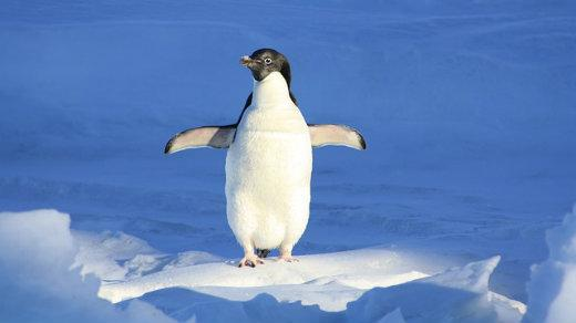 penguin on ice, blue background