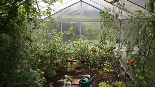Greenhouse garden with tomatoes
