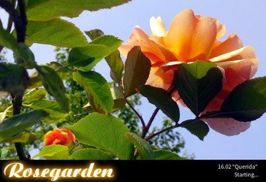 Rosegarden startup